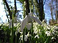Snowdrops, Scot's Poor - geograph.org.uk - 694875.jpg