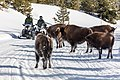 Snowmobiles passing bison on the road (eea13bce-a774-476c-8f9c-dcd186522590).jpg