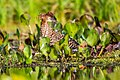 Socó-boi (Tigrisoma lineatum) - Rufescent Tiger-Heron.jpg