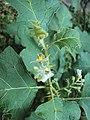 Solanum violaceum 17.JPG
