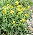 Solidago virgaurea L. subsp. leiocarpa.JPG