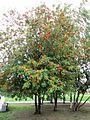 Sorbus aucuparia Voronezh.jpg