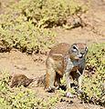 South African Ground Squirrel (Xerus inauris) male (32873570202).jpg