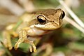 Southern Brown Tree Frog (Litoria ewingi) (8398122968).jpg