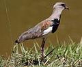 Southern Lapwing (Vanellus chilensis) (9610085570).jpg