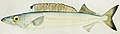 Southern Pacific fishes illustrations by F.E. Clarke 115.jpg