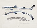 Southern Pacific fishes illustrations by F.E. Clarke 85.jpg