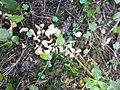 Spathularia rufa 85246060.jpg