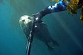 Spearfishing go away seal.jpg
