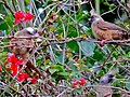 Speckled Mousebirds (Colius striatus) (7083304439).jpg