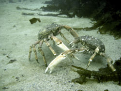Spider Crabs Fighting.JPG