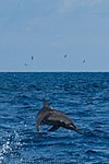Spinner Dolphin Indian Ocean 07-2017.jpg