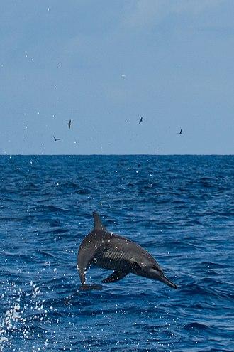 Spinner dolphin - Image: Spinner Dolphin Indian Ocean 07 2017