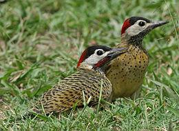 Spot-breasted Woodpecker 700