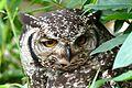 Spotted Eagle Owl (Bubo africanus) female (31054398152).jpg