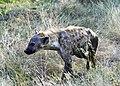 Spotted Hyena (26382982119).jpg