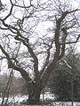 Spreading tree in Ashen Grove - geograph.org.uk - 1656045.jpg