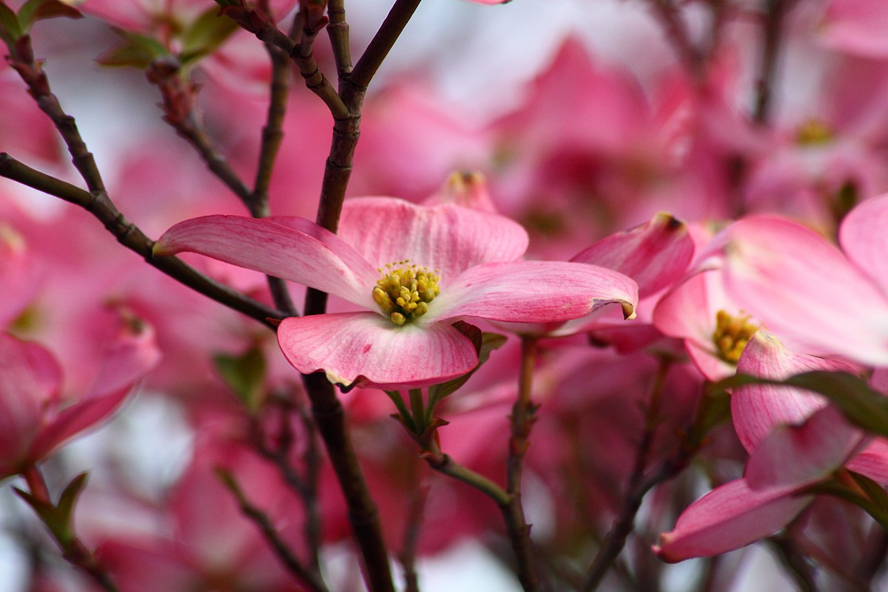 File spring dogwood tree pink flower west virginia for Tree with red flowers