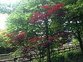 Spring Red Leaves near Kawachi (Ajisai no yu) Hot Spring.JPG