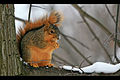 """Squirrel in the snow (""""Cold Nose"""").jpg"""