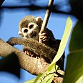 Squirrel monkey (4233061845).jpg