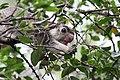 Sri Lanka Grizzled giant squirrel (16107333613).jpg