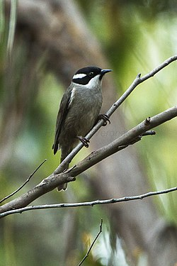 Srong-billed Honeyeater - Tasmania S4E5856 (21788313664).jpg