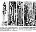 Stand of Douglas fir, ca 1922 (INDOCC 606).jpg