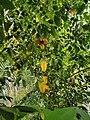 Star fruit plant.jpg