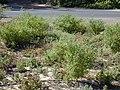 Starr-010203-0213-Chenopodium oahuense-habit-Kanaha Beach-Maui (24448720871).jpg