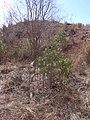 Starr-030521-0052-Myoporum sandwicense-planted Feb 2002-Lua Makika-Kahoolawe (24338773820).jpg
