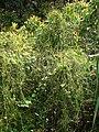 Starr-070321-5937-Cassytha filiformis-habit-Waianapanapa State Park Hana-Maui (24792009131).jpg