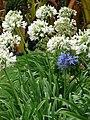 Starr-090430-6661-Agapanthus praecox subsp orientalis-flowering habit white and blue-Kula-Maui (24859784391).jpg