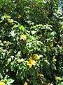 Starr-090609-0356-Tithonia diversifolia-flowering habit-Haiku-Maui (24936904366).jpg