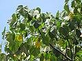 Starr-090720-3133-Ochroma pyramidale-leaves-Tropical Gardens of Maui Iao Valley Rd-Maui (24943984216).jpg