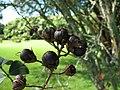 Starr-091104-0812-Lagerstroemia sp-cv Natchez fruit-Kahanu Gardens NTBG Kaeleku Hana-Maui (24620019239).jpg
