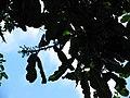 Starr-091104-0851-Atuna racemosa subsp racemosa-flowers and leaves-Kahanu Gardens NTBG Kaeleku Hana-Maui (24987712285).jpg