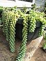 Starr-110215-0984-Sedum morganianum-habit-KiHana Nursery Kihei-Maui (24981794361).jpg