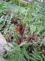 Starr-110307-2909-Diplazium esculentum-base-Kula Botanical Garden-Maui (24711335509).jpg