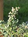 Starr-110719-7013-Vaccinium hybrid-blueberry cv Sunshine fruiting habit-Hawea Pl Olinda-Maui (25100239175).jpg