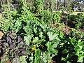 Starr-110822-8242-Cucurbita pepo-zucchini habit-Hawea Pl Olinda-Maui (24807773040).jpg