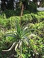 Starr-120403-4083-Aloe arborescens-habit-Kula-Maui (24507728024).jpg