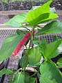 Starr-120522-5908-Acalypha hispida-flower and leaves-Iao Tropical Gardens of Maui-Maui (25049591421).jpg