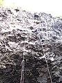 Starr-130319-3200-Clusia rosea-aerial roots-Waikanaloa Wet Cave-Kauai (25090545802).jpg