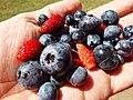 Starr-130818-0475-Vaccinium hybrid-Southern Highbush blueberries with alpine strawberries-Hawea Pl Olinda-Maui (25166780681).jpg