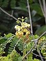Starr-140304-0036-Caesalpinia decapetala-flowers-Kekaulike Hwy Kula-Maui (25147790181).jpg