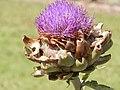 Starr-140719-1091-Cynara scolymus-flower-Hawea Pl Olinda-Maui (25218106036).jpg