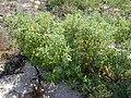Starr 010203-0212 Chenopodium oahuense.jpg