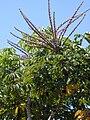 Starr 010425-0059 Schefflera actinophylla.jpg