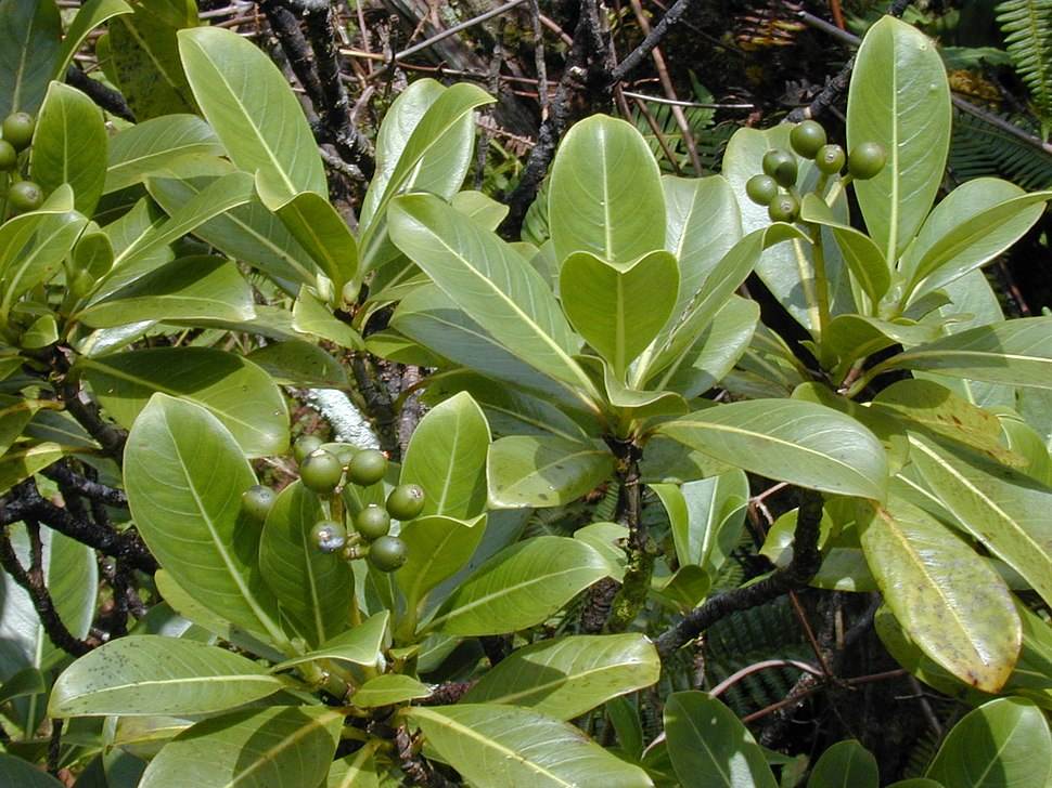 Starr 020925-0087 Psychotria mariniana